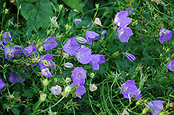 Carpathain Bellflower (Campanula carpatica) at Peck's Green Thumb Nursery