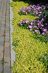 Golden Creeping Jenny (Lysimachia nummularia 'Aurea') at Peck's Green Thumb Nursery