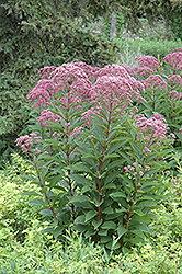 Joe Pye Weed (Eupatorium maculatum) at Peck's Green Thumb Nursery