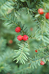 Japanese Yew (Taxus cuspidata) at Peck's Green Thumb Nursery