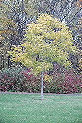 Kentucky Coffeetree (Gymnocladus dioicus) at Peck's Green Thumb Nursery