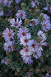 Woods Blue Aster (Aster 'Woods Blue') at Peck's Green Thumb Nursery