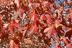 Northfire Red Maple (Acer rubrum 'Olson') at Peck's Green Thumb Nursery