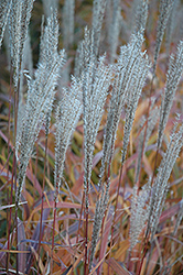 Flame Grass (Miscanthus sinensis 'Purpurascens') at Peck's Green Thumb Nursery