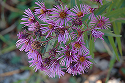 New England Aster (Aster novae-angliae) at Peck's Green Thumb Nursery