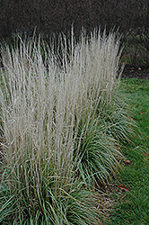 Avalanche Reed Grass (Calamagrostis x acutiflora 'Avalanche') at Peck's Green Thumb Nursery