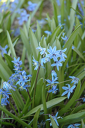 Spring Squills (Scilla sibirica) at Peck's Green Thumb Nursery