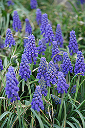 Grape Hyacinth (Muscari armeniacum) at Peck's Green Thumb Nursery