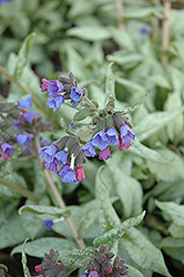 Cotton Cool Lungwort (Pulmonaria 'Cotton Cool') at Peck's Green Thumb Nursery