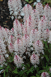 Spring Symphony Foamflower (Tiarella 'Spring Symphony') at Peck's Green Thumb Nursery