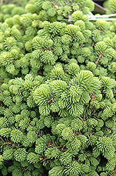 Little Gem Spruce (Picea abies 'Little Gem') at Peck's Green Thumb Nursery