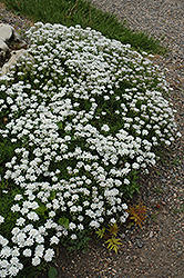 Little Gem Candytuft (Iberis sempervirens 'Little Gem') at Peck's Green Thumb Nursery