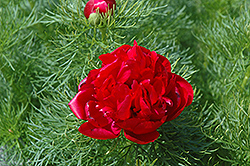 Double Fernleaf Peony (Paeonia tenuifolia 'Flore Plena') at Peck's Green Thumb Nursery