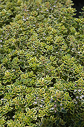 Lemon Thyme (Thymus x citriodorus) at Peck's Green Thumb Nursery