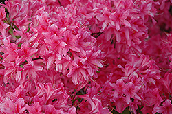 Rosy Lights Azalea (Rhododendron 'Rosy Lights') at Peck's Green Thumb Nursery