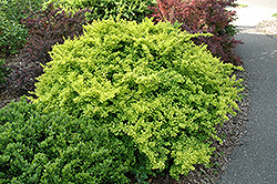 Golden Japanese Barberry (Berberis thunbergii 'Aurea') at Peck's Green Thumb Nursery