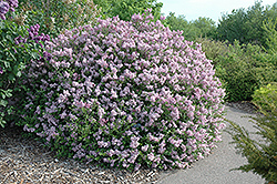 Dwarf Korean Lilac (Syringa meyeri 'Palibin') at Peck's Green Thumb Nursery