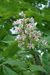 Horse Chestnut (Aesculus hippocastanum) at Peck's Green Thumb Nursery