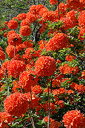 Mandarin Lights Azalea (Rhododendron 'Mandarin Lights') at Peck's Green Thumb Nursery