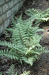 Ghost Fern (Athyrium 'Ghost') at Peck's Green Thumb Nursery