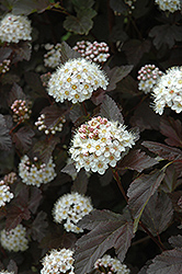 Diablo Ninebark (Physocarpus opulifolius 'Diablo') at Peck's Green Thumb Nursery