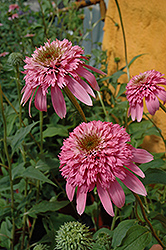 Razzmatazz Coneflower (Echinacea purpurea 'Razzmatazz') at Peck's Green Thumb Nursery