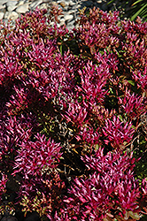 Dragon's Blood Stonecrop (Sedum spurium) at Peck's Green Thumb Nursery