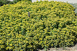Golden Carpet Stonecrop (Sedum kamtschaticum 'Golden Carpet') at Peck's Green Thumb Nursery