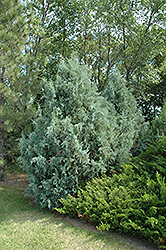 Wichita Blue Juniper (Juniperus scopulorum 'Wichita Blue') at Peck's Green Thumb Nursery