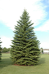 Colorado Spruce (Picea pungens) at Peck's Green Thumb Nursery