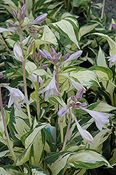 Pathfinder Hosta (Hosta 'Pathfinder') at Peck's Green Thumb Nursery