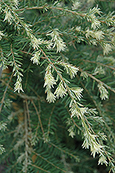 Summer Snow Hemlock (Tsuga canadensis 'Summer Snow') at Peck's Green Thumb Nursery