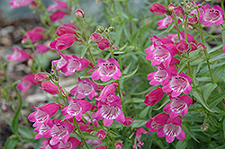 Red Rocks Beard Tongue (Penstemon x mexicali 'Red Rocks') at Peck's Green Thumb Nursery