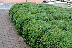 Chicagoland Green Boxwood (Buxus 'Glencoe') at Peck's Green Thumb Nursery