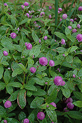 Globe Amaranth (Gomphrena globosa) at Peck's Green Thumb Nursery