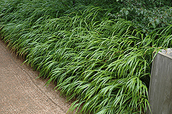 Japanese Woodland Grass (Hakonechloa macra) at Peck's Green Thumb Nursery