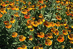 Sahin's Early Flowerer Sneezeweed (Helenium 'Sahin's Early Flowerer') at Peck's Green Thumb Nursery