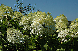 Phantom Hydrangea (Hydrangea paniculata 'Phantom') at Peck's Green Thumb Nursery