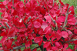 Compact Winged Burning Bush (Euonymus alatus 'Compactus') at Peck's Green Thumb Nursery