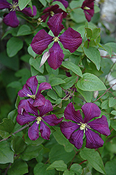 Etoile Violette Clematis (Clematis 'Etoile Violette') at Peck's Green Thumb Nursery