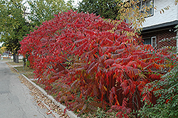 Staghorn Sumac (Rhus typhina) at Peck's Green Thumb Nursery