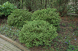 Wintergreen Boxwood (Buxus microphylla 'Wintergreen') at Peck's Green Thumb Nursery