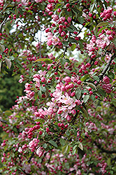 Indian Summer Flowering Crab (Malus 'Indian Summer') at Peck's Green Thumb Nursery
