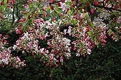 Calocarpa Zumi Flowering Crab (Malus x zumi 'Calocarpa') at Peck's Green Thumb Nursery