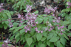 Lilafee Bishop's Hat (Epimedium grandiflorum 'Lilafee') at Peck's Green Thumb Nursery