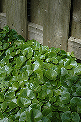 European Wild Ginger (Asarum europaeum) at Peck's Green Thumb Nursery