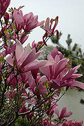 Ann Magnolia (Magnolia 'Ann') at Peck's Green Thumb Nursery