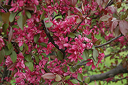 Profusion Flowering Crab (Malus 'Profusion') at Peck's Green Thumb Nursery