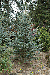 Iseli Foxtail Spruce (Picea pungens 'Iseli Foxtail') at Peck's Green Thumb Nursery