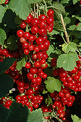 Red Lake Red Currant (Ribes sativum 'Red Lake') at Peck's Green Thumb Nursery